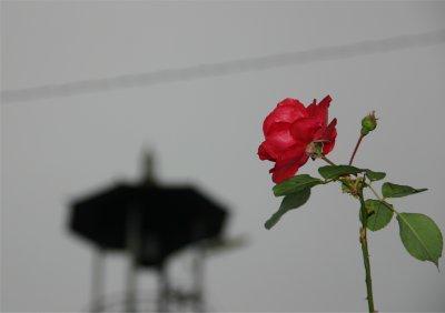 バラと火の見