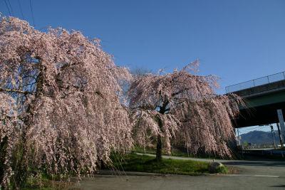 しだれ桜満開1
