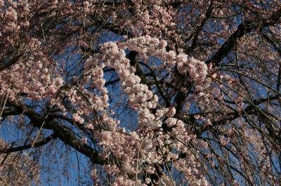 しだれ桜満開2