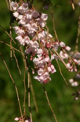 しだれ桜満開3