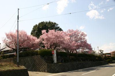 寺の桜(下黒沢)