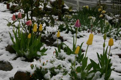 雪のチューリップ1