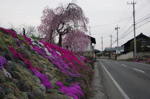 しだれ桜と芝桜