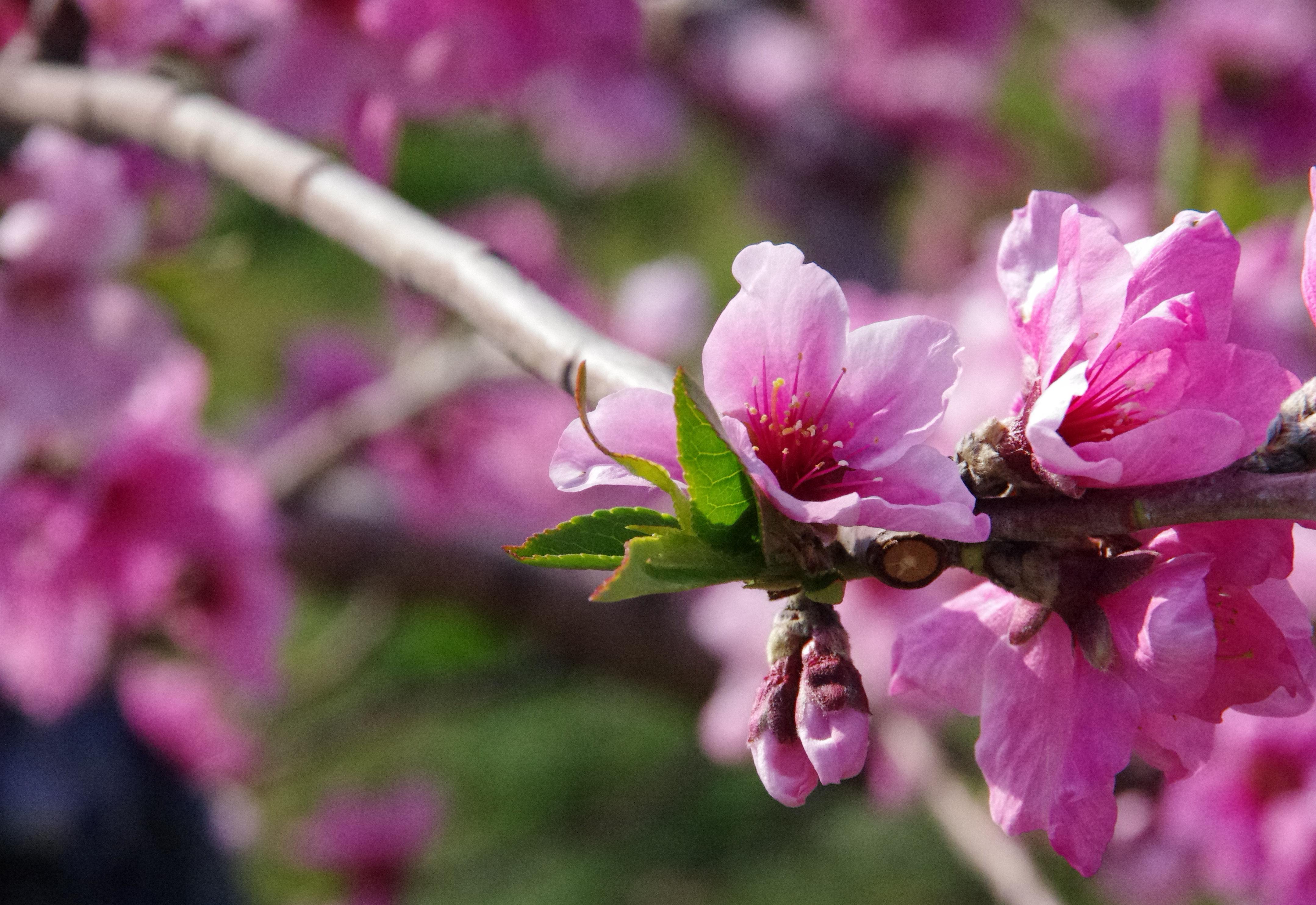 新府の桃畑2