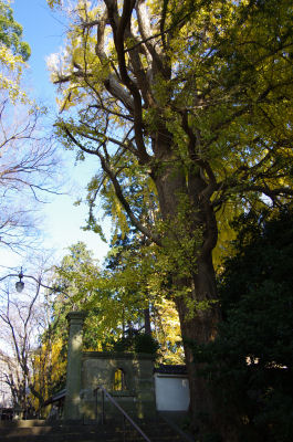 光長寺の銀杏