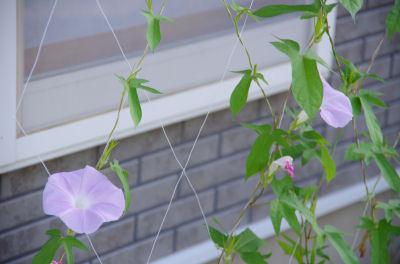 朝顔の花1