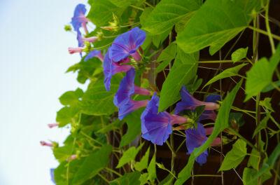 朝顔の花7-31
