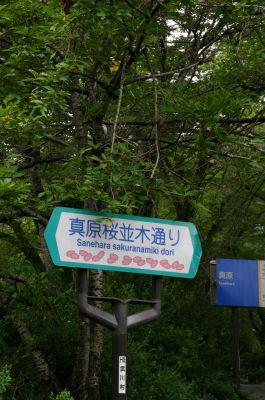 真原桜並木1