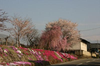 大豆生田桜