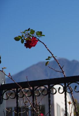 ミラプロのバラ1