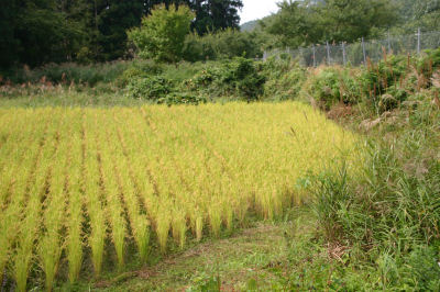古瀬さんの田圃