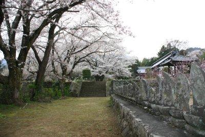 伝嗣院の桜