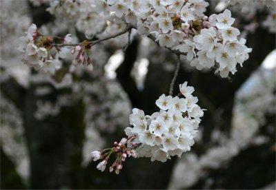 伝嗣院の桜3