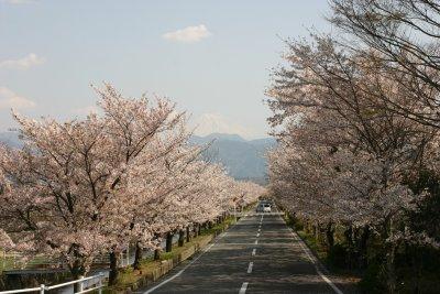 憩いの桜並木