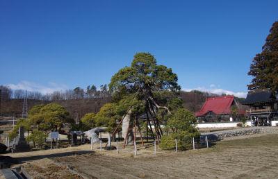 遠照寺の赤松