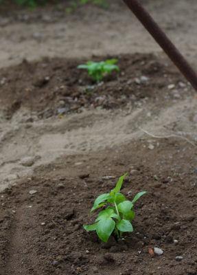 野菜植えました2