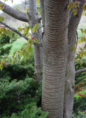 野辺山の桜の幹