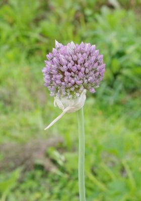 ニンニクの花2