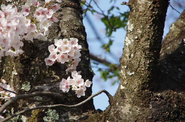 真原の桜2