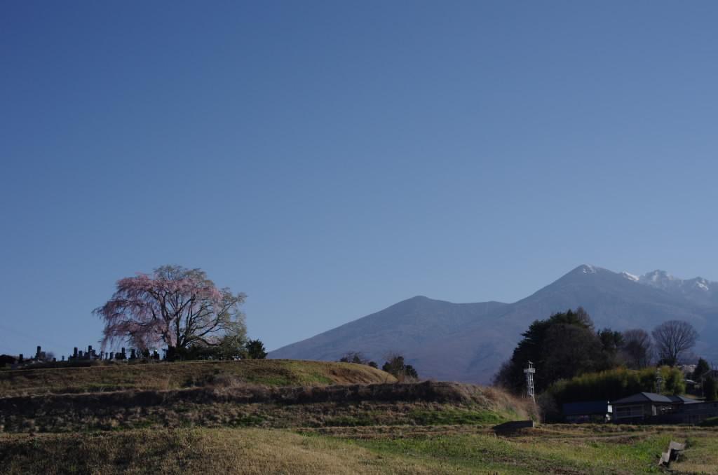 田端のしだれ桜1