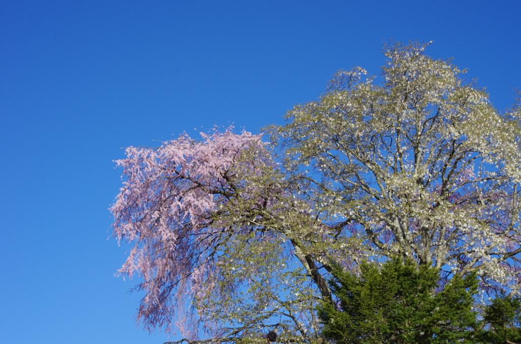 田端のしだれ桜2