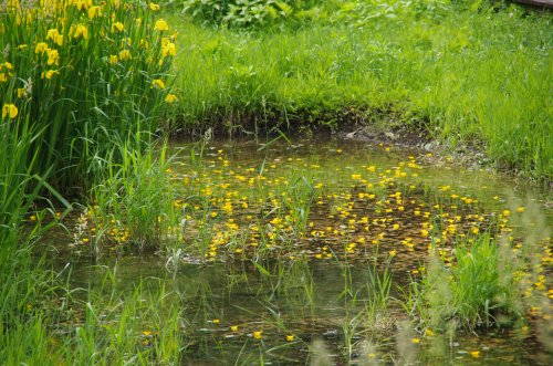 05黄花の水草