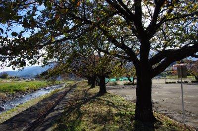 31桜並木の下