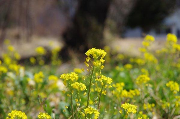 17_菜の花