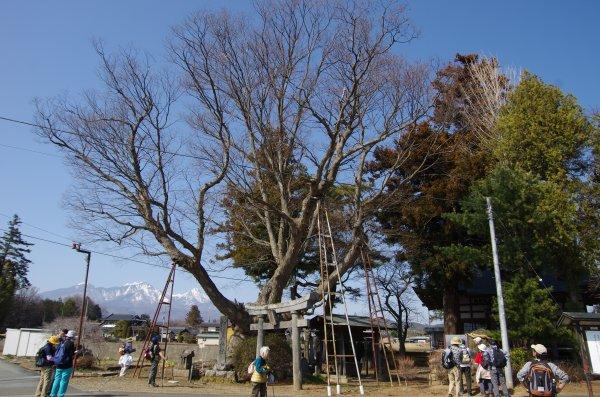 34_大ケヤキ