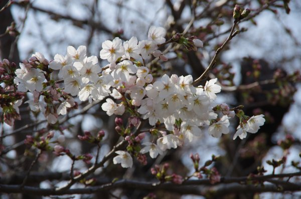 37遠妙寺桜
