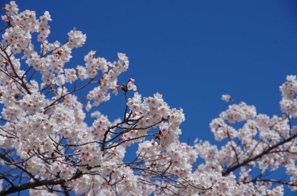 05_川辺の桜