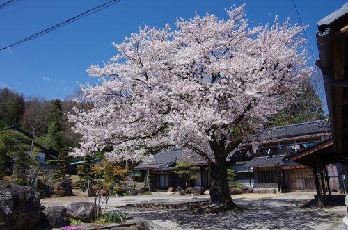 15_庭の桜
