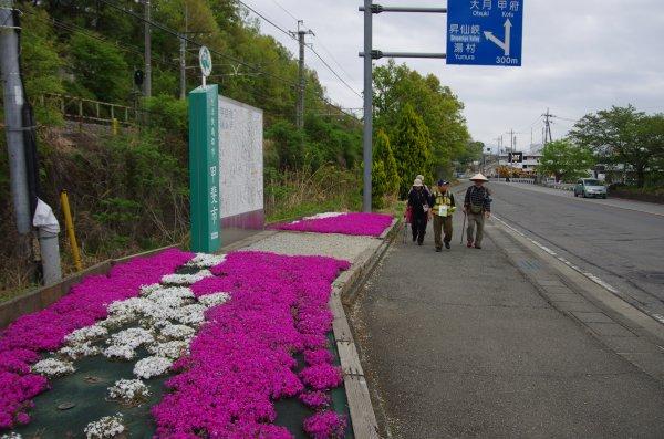 30_芝桜