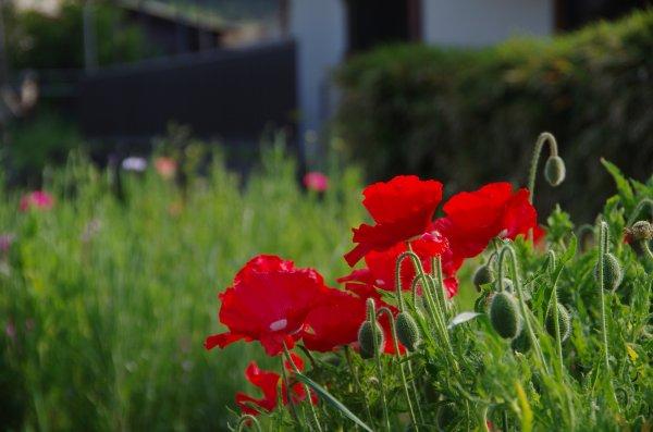 34_ケシの花