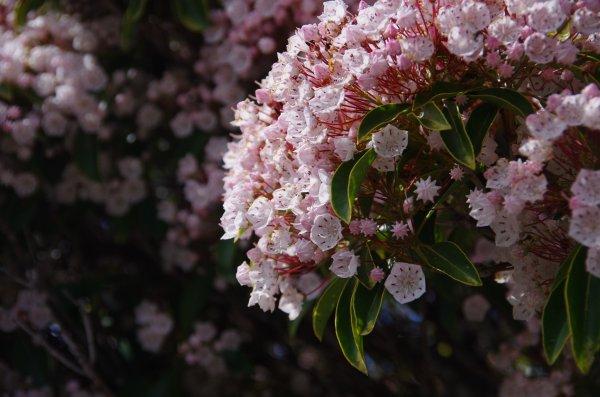 35カルミア花