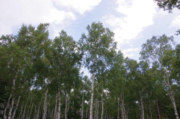 八千穂高原白樺林2