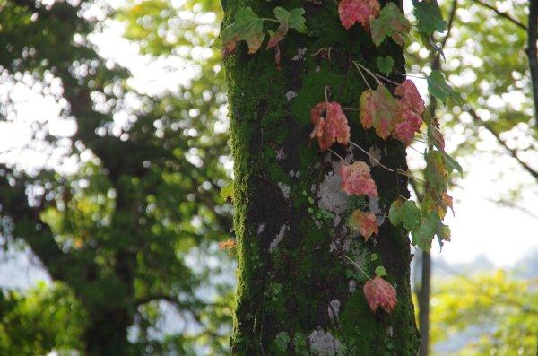 蔦の紅葉と苔