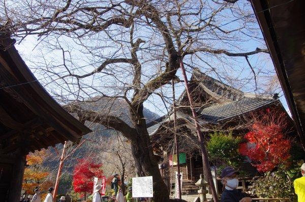 吉祥寺の新羅桜