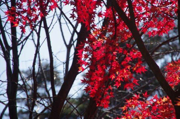 16_紅葉(逆光)