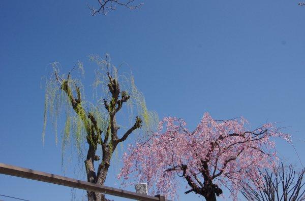24_石和駅前公園の桜と柳