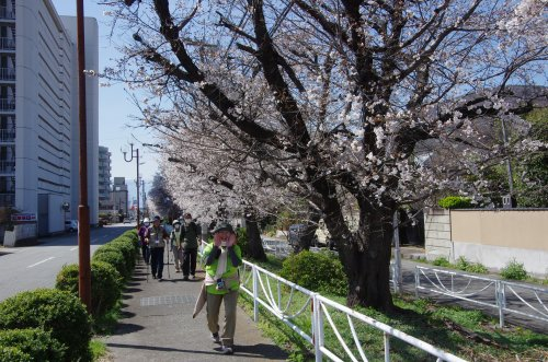 31_桜並木