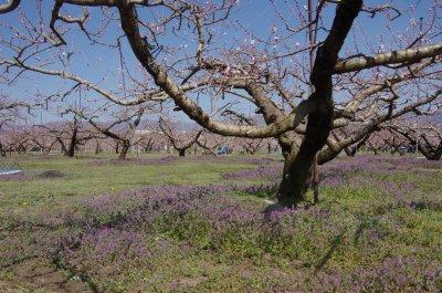 37_桃畑の下草